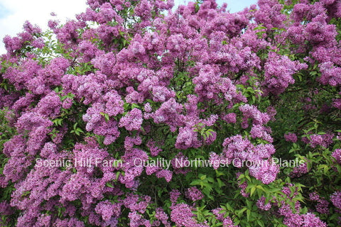 "Potted Purple Old Fashion Lilac Bush - The Most Fragrant Lilac - 14"" - 20"" Tall"