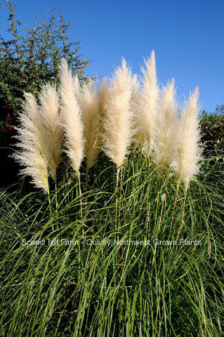 White Pampas Grass - Scenic Hill Farm Nursery