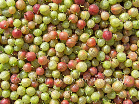 Pixwell Gooseberry Plant- Ships Fully Rooted In Soil - Traditional Flavor