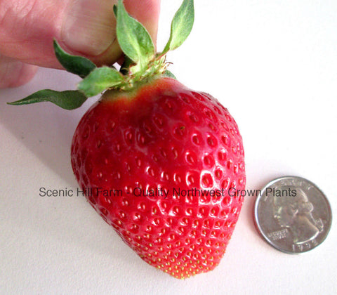 Puget Crimson Summer Bearing Strawberry Plants - Certified Bare Root Plants