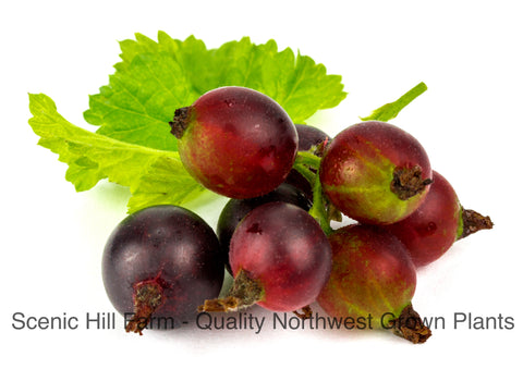 Red Josta Plants - Large Sweet-Tart Berries - Gooseberry and Black Currant Cross