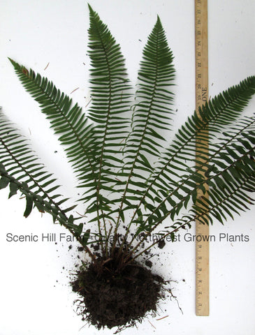 Western Sword Ferns (Polystichum Munitum) - Mature Live Plants, Large  Size