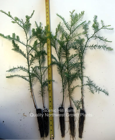 "Coast Redwood Trees 16"" - 28"" Tall - Landscape Tree / Screen / Bonsai"