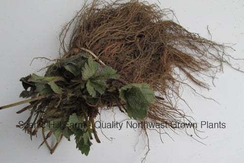 Chandler Strawberry Plants - Certified Bare Root Plants - Great For Southern Areas
