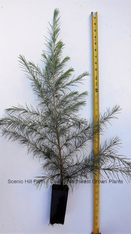 Deodar Cedar, Live Potted Tree 24-30 Inches tall, graceful, pendulous branches