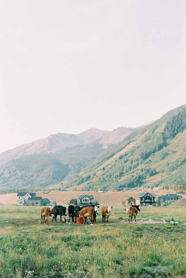 Morning cows in Crested Butte