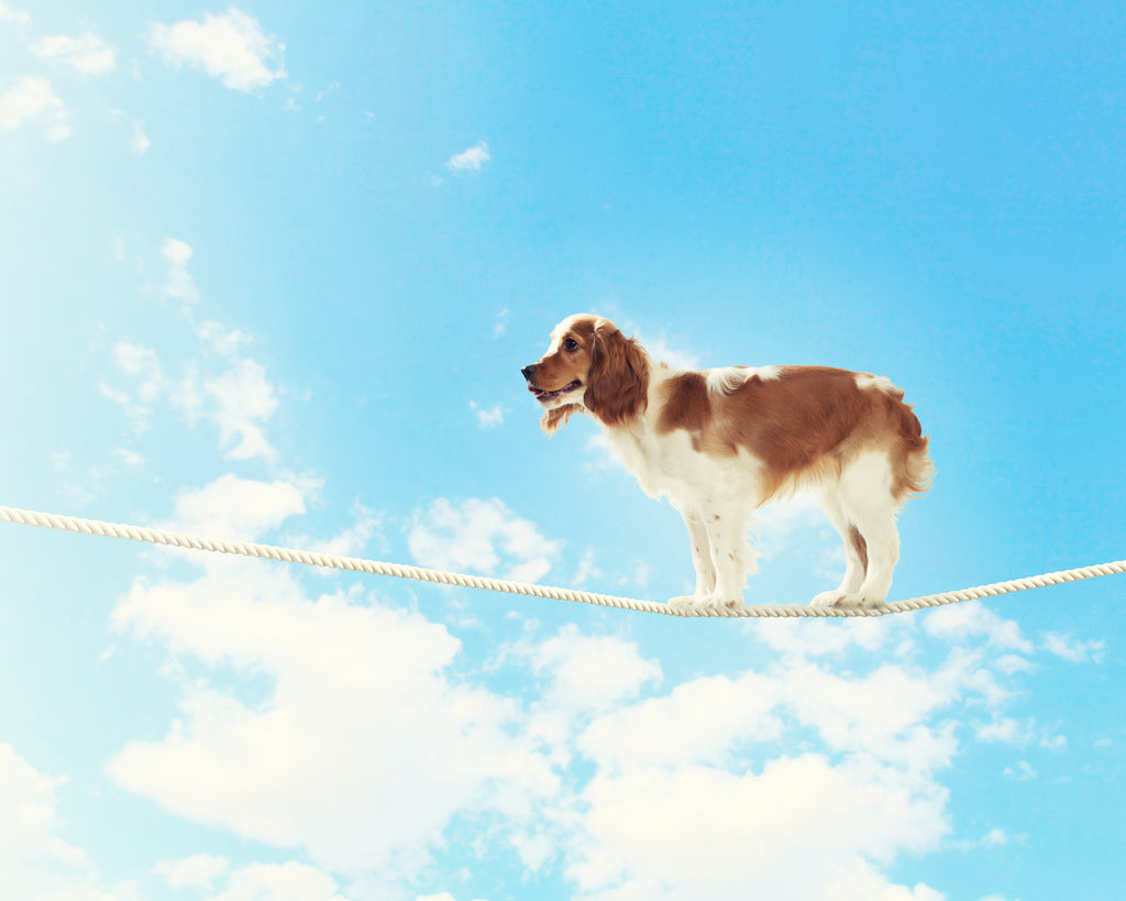 Dog Balancing on Tight Rope - Link to Imbalances in All-Meat Raw Diet