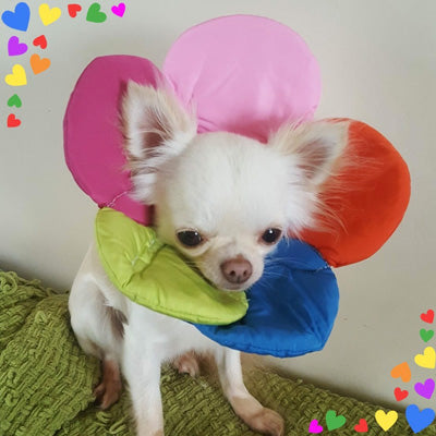 Post Surgery Soft Protective Flower Collar Multicolour 3 sizes Chihuahua Clothes and Accessories at My Chi and Me