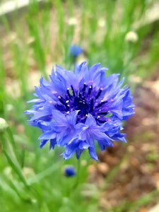 Bachelor Button (Cornflower)