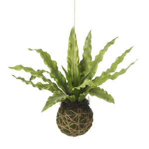 Asplenium hanging ball