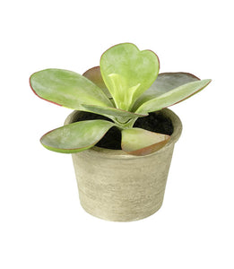 Kalanchoe Potted H 150 x 180mm Green