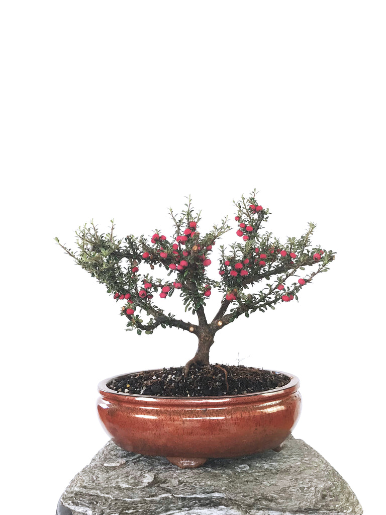 COTONEASTER (1802004)