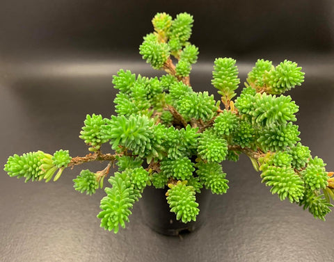 Sedum Multiceps (Miniature Joshua Tree) cutting (set of 10)