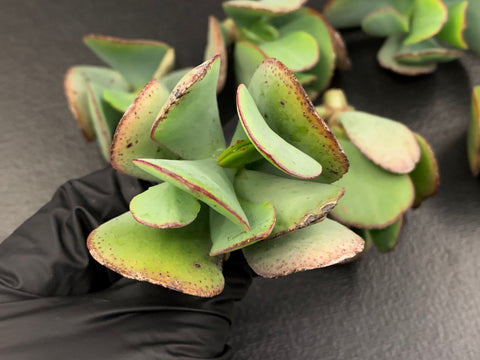 Crassula Blue Bird cutting (set of 4)