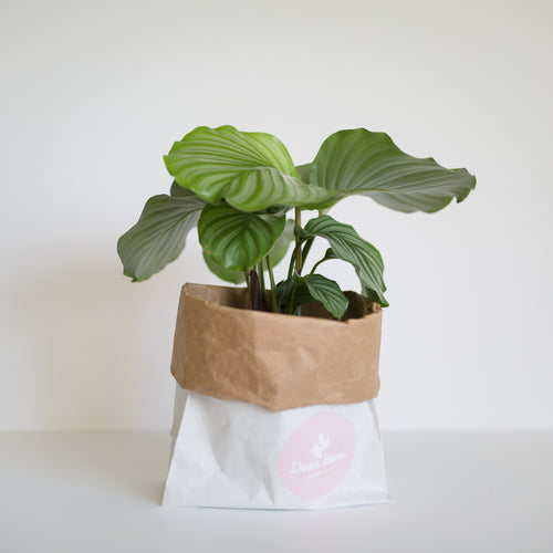 Medium Sized Calathea Orbifolia, striking plant, ideal for lower light environments.