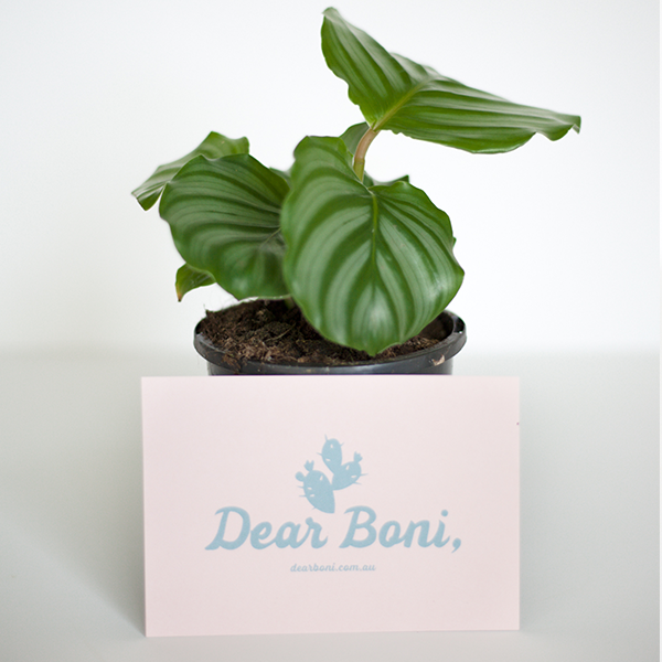 Buy Calathea Orbifolia delivered across Melbourne. Dear Boni Calathea