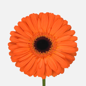 Mini Gerbera orange