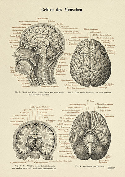 The Human Brain Archival Print - Neuroscience Illustration - Medical Poster  - Brain Science Poster  - Museum Quality