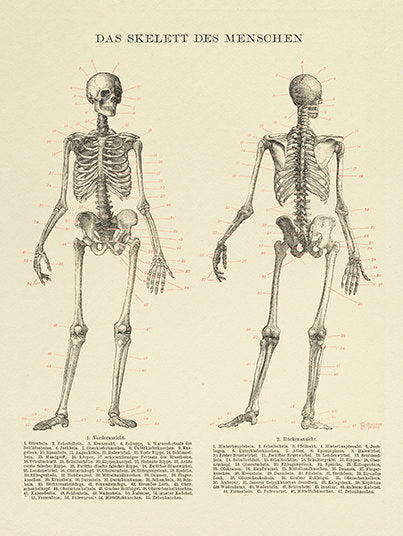 Human Skeleton Archival Print - Science Illustration - Medical Wall Art - Museum Quality Anatomy Science Poster