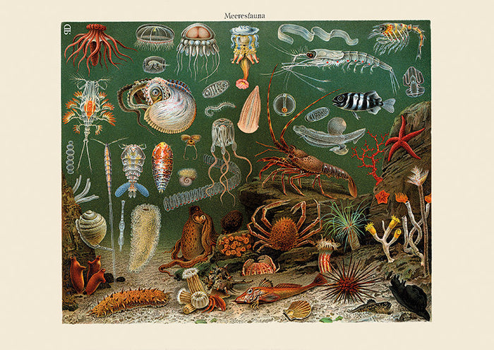 Sea Creatures Coral Jellyfish Art Print - Vintage Marine Illustration - Science Wall Art - Museum Quality