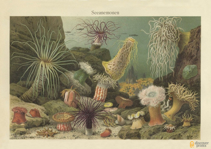 Gorgeous Sea Anemone Art Print - Vintage Marine Illustration - Science Wall Art - Museum Quality
