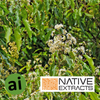 Anise Myrtle Extract - Aromatic Ingredients
