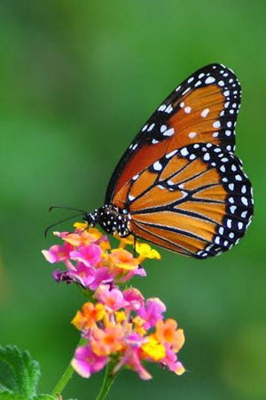 Why our majestic monarch butterfly needs our help