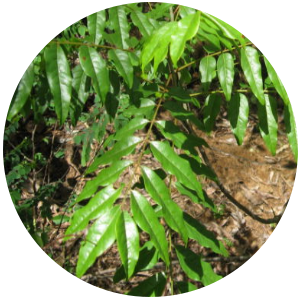 katrafay plant-essential oil-plants power