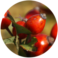 Rosehip Seed (Rosa canina) Carrier Oil- Refined