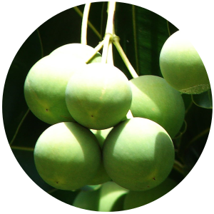 Tamanu (Calophyllum inophyllum) Carrier Oil - Virgin