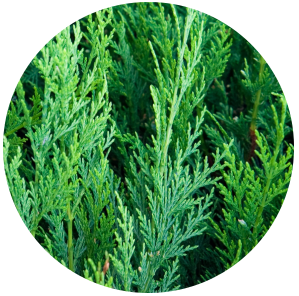 Cedar leaf (Thuja occidentalis) Hydrosol