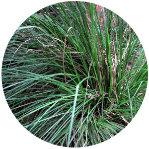 Vetiver (vetiveria zizanoides) Essential Oil - Haiti