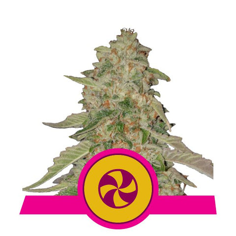 Royal Queen Seeds - Sweet Zkittlez