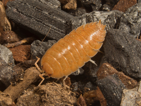 Porcellio laevis 'Orange'