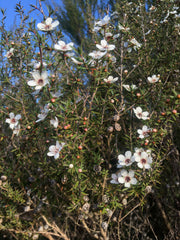 Leptospermum scoparium incanum High-NPA-Northland