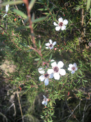 Leptospermum scoparium High-NPA-Westland
