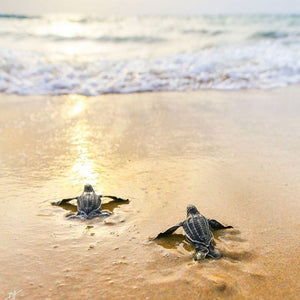 Shore Buddies Wisdom Wednesday Baby turtles on the beach.jpg
