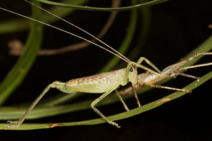 Fibre in Crickets