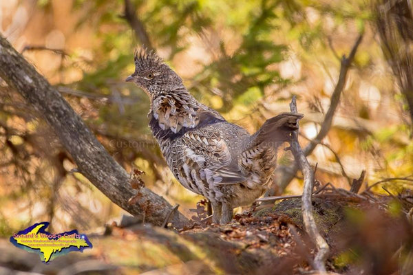Ruffed Grouse Partridge Photo Michigan Wildlife Photography