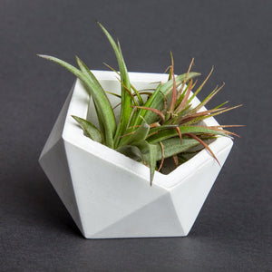 Air Plant and Geometric Vase