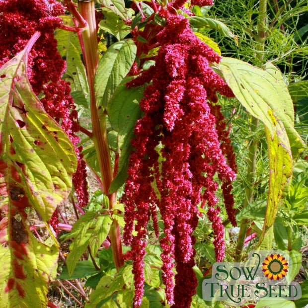 Amaranth - Love Lies Bleeding - Sow True Seed