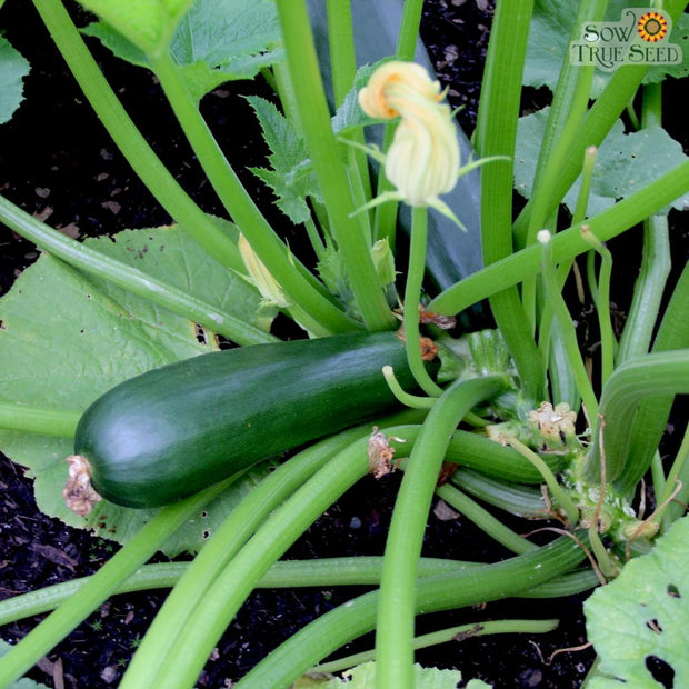 "Organic Summer Squash seeds - Black Beauty : Heirloom high-yielding bush-type plant, harvest when fruit is 6-8"" long."