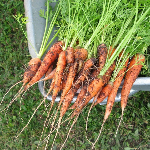 Carrot - Red Core Chantenay - Sow True Seed