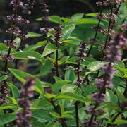 Herb - Basil, Thai - Sow True Seed