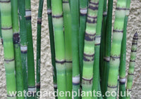 Equisetum_hyemale_Water_Horsetail_or_Rough_Horsetail