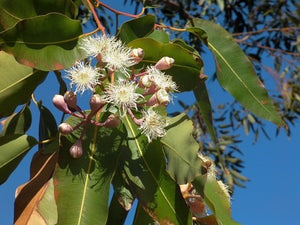 Eucalyptus Oil, Supersalve's Potent Curative Ingredient.