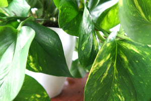 Large Golden Pothos (Devil's Ivy) Air Purifying Plant - Pretty in Green Plants