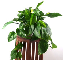 Large Golden Pothos (Devil's Ivy) Live Air Purifying Plant in BioPot