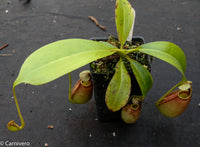 Nepenthes bicalcarata, BE-3029