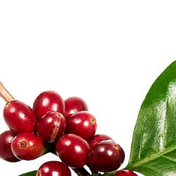 premium grown coffeeberry
